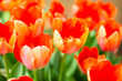 Orange tulip flower garden - 248767081