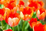 Orange tulip flower garden