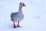 A close portrait of a grey goose walking in the snow - 248781846