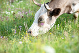 Brown cow eating grass at the foot of the mountain on a green meadow