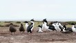 Rock Hopper Penguins shot in the Falkland Islands.