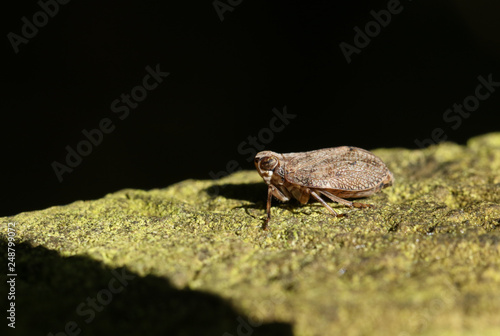 Foto Murales A tiny Leafhopper (Cicadellidae) perced on a wooden fence.