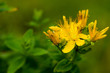 St. John's wort yellow healthy plant on the meadow