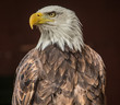 Close up portrait of an American Eagle