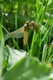 Geschlüpfte Libelle - 248817229