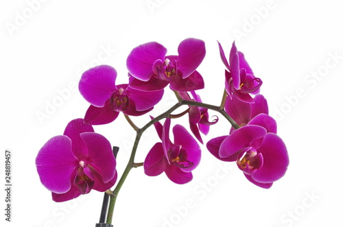 beautiful purple Phalaenopsis orchid flowers, isolated on white background - 248819457