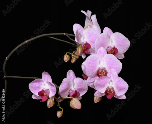 orchid on black background - 248822480