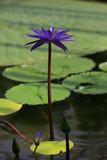 Blaue Seerose Hybrid (Nymphaea) - 248828491