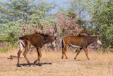 two sable antelopes (hippotragus niger) walking in savanna in sunlight - 248840469