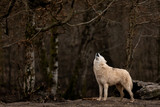 White Wolf in the forest - 248844406