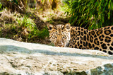 An Amur Leopard, also known as the far east leopard is a leopard native to parts of Russia and China and classified as critically endangered.
