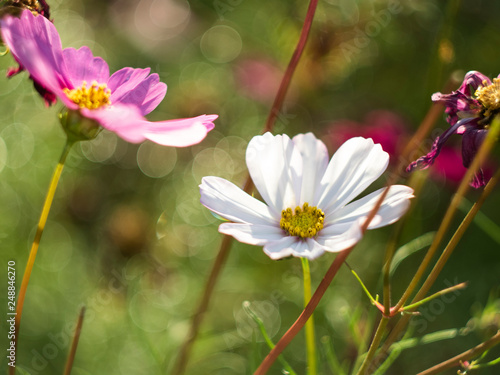 cosmos shiny in sunlight with grest bokeh