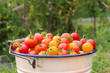 A bucket of fresh harvested homegrown cherry tomatoes. - 248856071