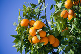 Orange trees with ripe delicious fruit -  food crop, permaculture. - 248856085