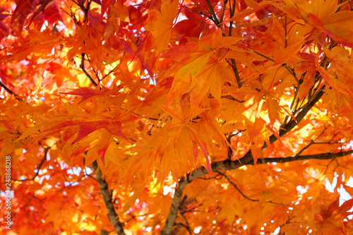 Japanese maple branch tree turn to orange, red , yellow on clear sky background in autumn season, sunshine to maple orange leaves in season change, maple tree in Japan. © P. Lesley