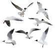 cutout seven flying black-headed gulls