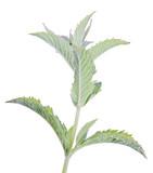 light green fresh peppermint branch - 248871413