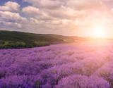 Hilly lavender fields. Lush lavender bloom.