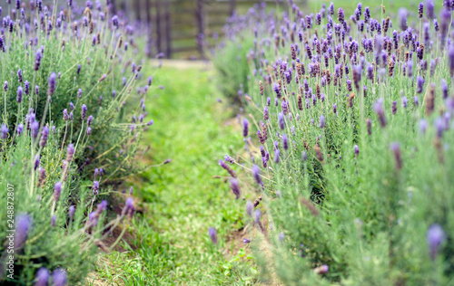 Close up blossoming lavender fields in  countryside,Taiwan - 248872807