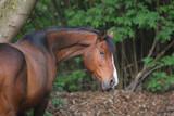 primo piano di cavallo marrone