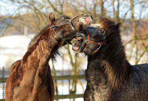 Wilde Kerle. Zwei Island Pferde spielen auf der Koppel. Portrait