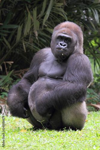 silverback gorilla, wildlife photography © DwiYogaPujo