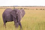 Elephant walking on the grass of savanna