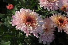 "Постер, картина, фотообои ""pretty flowers of chrysanthemum plant close up"""