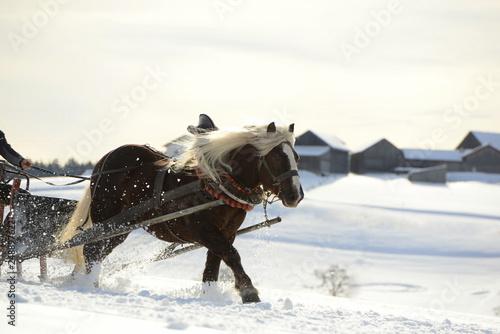 Der Schnellste. Blondes Kaltblutpferd beim Schlittenrennen
