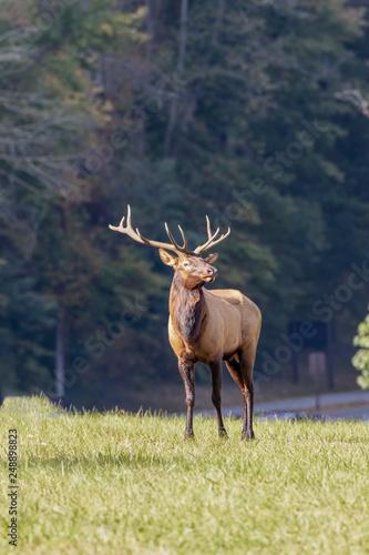 Bull elk, Cervus canadensis, Great Smoky Mountains,Cherokee, North Carolina