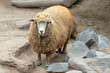 Female - ewe Sheep in Peru South America