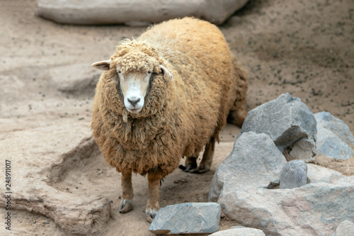 Female - ewe Sheep in Peru South America