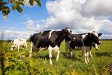 Troupeau de vache laitière en France