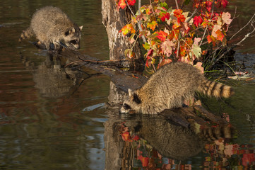 Raccoons (Procyon lotor) One Leans Out Over Water Autumn © geoffkuchera