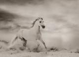 Beautiful white stallion