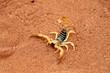 scorpion (parabuthus villosus) - Namibia Africa