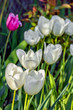White tulips close-up in the spring sunny garden
