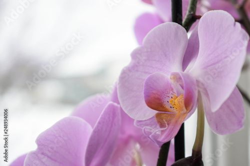 Branch of lilac orchid on white background - 248934006