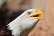 Head shot of a bald eagle (haliaeetus leucocephalus)