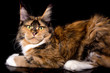 Big maine coon cat on black background, isolated, studio.