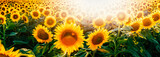 Bright sunflower field header with lens flare