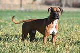 perro boxer - 248964407