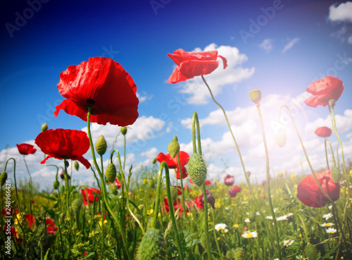 Field of poppies on a sunset - 248966426