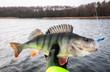 Winter perch fishing on softbaits