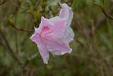 Beautiful Flowering Pink Azalea Flower Blossom in Bloom