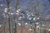 A flock of Sandhill Cranes taking off to fly. - 248996243