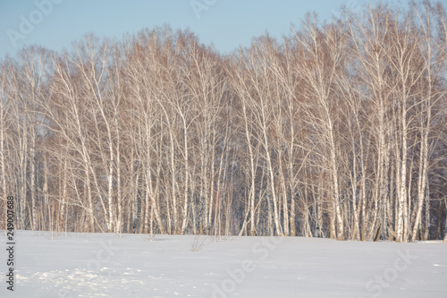Trees in the winter forest. The dark landscape. Winter in Russia.