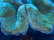 "Постер, картина, фотообои ""The amazing and mysterious underwater world of Indonesia, North Sulawesi, Bunaken Island, soft coral"""