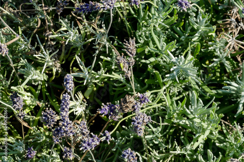Lavender flowers in closeup - 249012864
