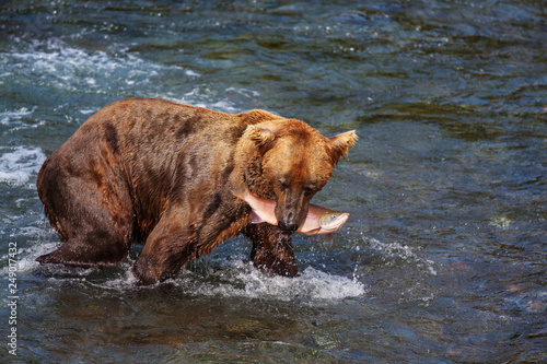Bear on Alaska - 249017432